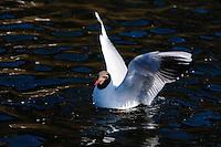 Norway, Stavanger. Common Blackheaded Gull at Mosvannet lake.