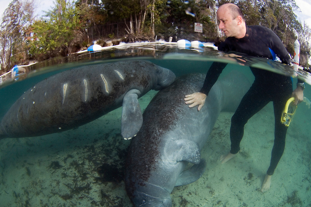 Florida Manatee (Trichechus manatus latirostris) injured by a boat propeller in Crystal River, FL.  Although protected by in the United States, manatees or sea cows are threatened by extinction by habitat destruction, red tides and boat collisions.