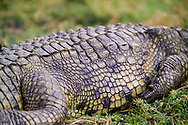 A crocodile rests on the banks of the Chobe River in the Chobe National Park, Botswana. About 157 species of reptiles have been recorded in Botswana. Among them, the crocodile remains one of the most dangerous, with attacks and fatalities relatively common.