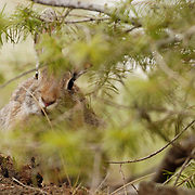 Mountain Cottontail (Sylvilagus nuttalli) in a Montana forest during the spring.