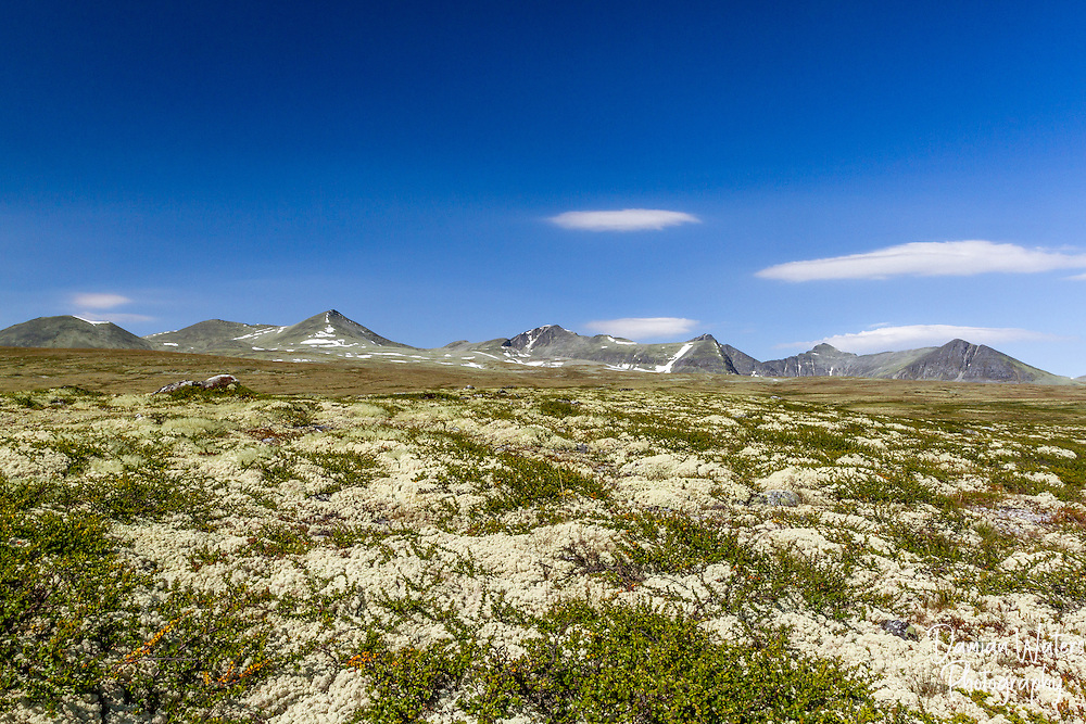 Reindeer Moss at Rondane National Park, Norway - August