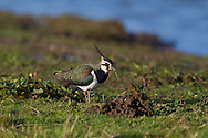 Lapwing - Vanellus vanellus. L 30cm. Pied-looking wader with a spiky crest. Has rounded, black and white wings and distinctive call. Sexes are separable in summer. Adult male in summer has green- and purple-sheened dark upperparts; underparts are white except for orange vent and black foreneck. Note black and white markings on throat. Adult female in summer has less distinct black neck markings and shorter crest. Winter adult is similar to summer female but throat and foreneck are white, and back feathers have buffish fringes. Juvenile is similar to winter adult but crest is short and back looks scaly. Voice Utters a choked pee-wit call. Status Fairly common nesting species of undisturbed grazed grassland, moors and arable farmland; numbers have declined seriously. Migrants from Europe boost numbers in winter.