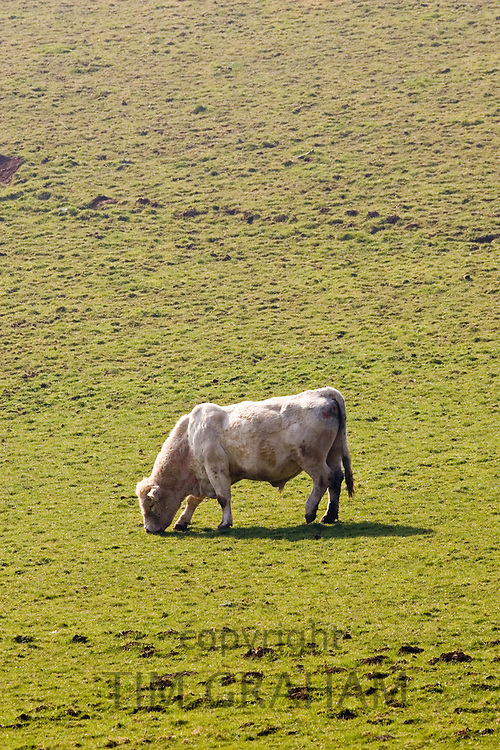 Bull contentedly grazing, Gloucestershire, The Cotswolds, England, United Kingdom