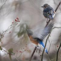Blue birds in flight feeding on berries on the C & O Canal near Seneca, Maryland