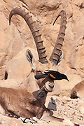 Male Nubian Ibex (Capra ibex nubiana AKA Capra nubiana) and Tristram's Starling or Tristram's Grackle (Onychognathus tristramii) showing Symbiosis between the two species Photographed in the Judean Desert, Israel