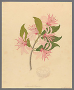 Calodendrum capense (1817) AKA Cape chestnut from a collection of ' Drawings of plants collected at Cape Town ' by Clemenz Heinrich, Wehdemann, 1762-1835 Collected and drawn in the Cape Colony, South Africa
