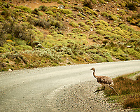 Lesser rhea along the road while traveling from Estancia Lazo to Hosteria Lago Grey. Torres del Paine National Park, Chile. Image taken with a Nikon D3s camera and 70-300 mm VR lens (ISO 200, 300 mm, f/10, 1/400 sec).