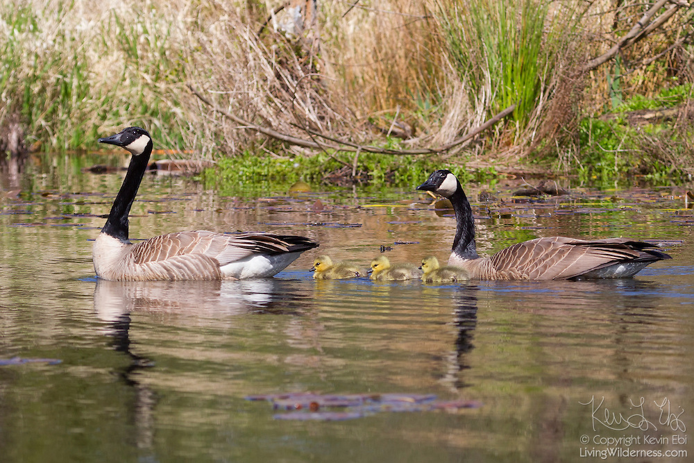 A family of Canada geese (Branta canadensis), two parents and three goslings, swim in the wetlands of the Washington Park Arboretum in Seattle, Washington. The typical Canada goose clutch size is five eggs, though it can range from two to twelve. The eggs hatch simultaneously so the parents can lead the goslings together away from the nest. Canada geese typically mate for life.