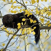 Fisher, (Martes pennanti) Montana. In aspen tree. Fall. Captive Animal.