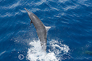 spinner dolphin, either eastern spinner, Stenella longirostris orientalis, or Central American spinner, Stenella, longirostris centroamericana, jumping and spinning, offshore from southern Costa Rica, Central America ( Eastern Pacific Ocean )