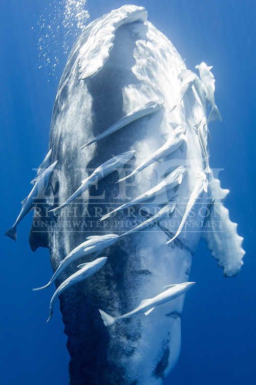 Megaptera novaeangliae (Humpback Whale) calf off the coast of the Vava'u Island group in the Kingdom of Tonga.<br /> Saturday 01 September 2012.<br /> Photograph Richard Robinson © 2012.