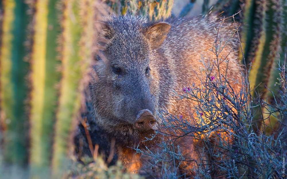 THE ESSENSE OF JAVELINA | Collared peccary (Tayassu tajacu) have an endlessly fascinating and complex social system in Sonoran desert.