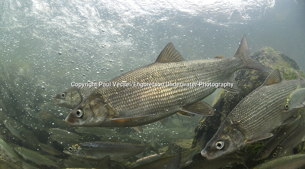 Lake Whitefish with Cisco<br /> <br /> Paul Vecsei/Engbretson Underwater Photography