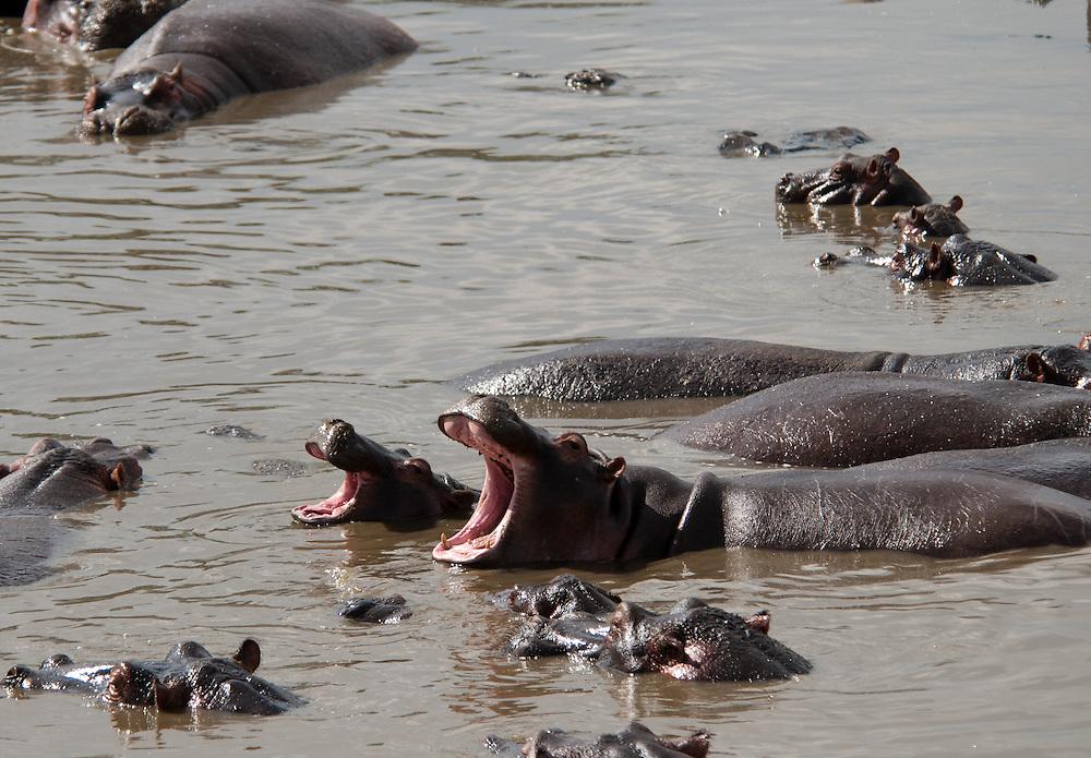 Yawning Hippos - Kiboko