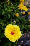 Yellow Hibiscus flower, Kealakekua Bay, Island Of Hawaii