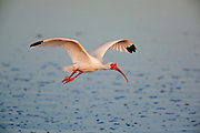 White Ibis in breeding plumage in flight over water