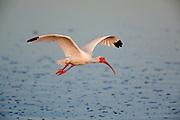 White Ibis in breeding plumage in flight over water