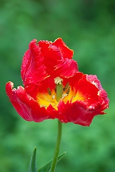 Parrot tulip - Sarah thought possibly 'Glasnost' ?
