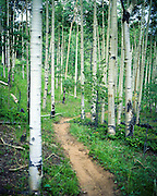 Seven Bridges hiking trail snakes it's way through a grove of aspen trees in the foothills of Colorado Springs, Colorado