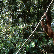 Orangutan, (Pongo pygmaeus) Hanging from vine in jungle of rain forest. Northern Borneo. Malaysia. Controlled Conditons.