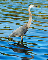 Great Blue Heron (Ardea herodias). Fort De Soto County Park. St. Petersburg, Florida. Image taken with a Nikon D3 camera and 70-200 mm f/2.8 VR lens.