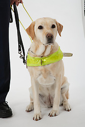 Seated Guide Dog in harness