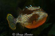Shaw's cowfish or striped cowfish (male), Aracana aurita, Victoria, Australia