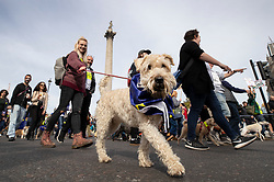 "© Licensed to London News Pictures. 07/10/2018. London, UK. Dogs march with their pro-remain owners to Parliament Square to demand a ""People's Vote"" on the final Brexit agreement.  Photo credit: Peter Macdiarmid/LNP"