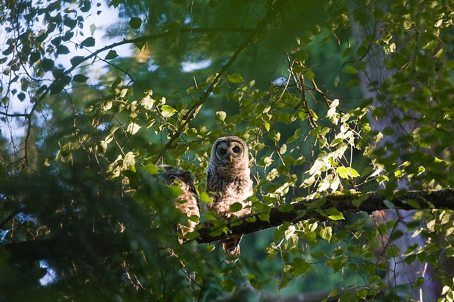 A barred owl (Strix varia) perched on a tree branch in the Washington Park Arboretum in Seattle, Washington. The city park, a living museum home to over 20,000 plant species from around the world, celebrates its 75th anniversary this year.