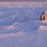 Polar Bear (Ursus maritimus) illuminated in light on the frozen ice of Churchill, Manitoba, Canada.