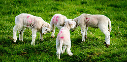 Young lambs playing in the spring sunshine on a farm in the Scottish borders<br /> <br /> (c) Andrew Wilson | Edinburgh Elite media