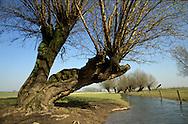 Nederland, Neerrijnen, voorjaar 2000.Uiterwaarden omgeving Neerrijnen met nevenloopje van de rivier en mooie oude knotwilgen die karakteristiek zijn voor uiterwaardenlandschap..Dit gebied wil men aan de natuur terug geven. Boeren zijn daar tegen..Landschap...Foto (c) Michiel Wijnbergh/Hollandse Hoogte.