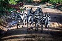 Zebra at Lake Nakuru, Kenya
