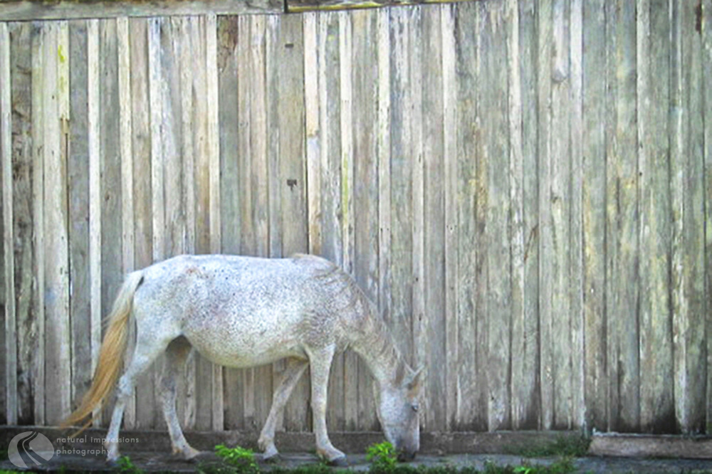 Attempting to blend in with the wall, this Camelion Pony remains camouflaged as he quickly eats away any telltale green that might give away his location.
