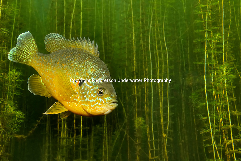 Pumpkinseed Sunfish<br /> <br /> Engbretson Underwater Photography