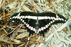 10 June 2001: Miller Park Zoo<br /> swallowtail butterfly<br /> Archive slide, negative and print scans.