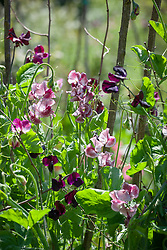 Lathyrus odoratus 'Almost Black' and 'Wiltshire Ripple' growing together