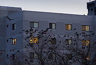 Middletown, New York - Crows converge on downtown Middletown at twilight on  Nov. 19, 2014.