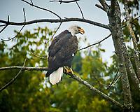 Bald Eagle. Image taken with a Nikon N1V3 camera and 70-300 mm VR lens (ISO 180, 300 mm, f/5.6, 1/320 sec)