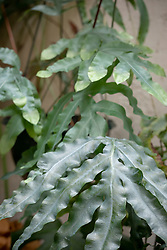 Fern in the conservatory - check i.d