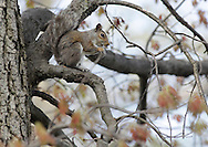 Middletown, New York - An Eastern gray squirrel (Sciurus carolinensis) sits on a maple tree branch at Fancher-Davidge Park on May 7, 2011.