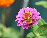 Clearwing Hummingbird Moth on a Zinnia Flower Image taken with a Nikon D5 camera and 70-200 mm f/2.8 lens/