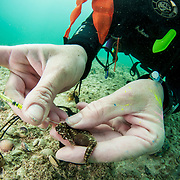 Marine biologist Dr. Heather Masonjones tags a seahorse, Hippocampus erectus, to study an alkaline pond's population. Through this method of injecting a non-toxic dye, that can only be seen under ultra-violet light, she proved that this pond in The Bahamas has the highest density of seahorses on Earth.