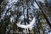 white tern or fairy tern, Gygis alba rothschildi, hovering in littoral casuarina stand, Sand Island, Midway, Atoll, Midway Atoll National Wildlife Refuge, Papahanaumokuakea Marine National Monument, Northwest Hawaiian Islands, USA ( Central North Pacific Ocean )