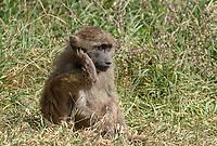 Juvenile Olive Baboon, Papio anubis, in Ngorongoro Crater, Ngorongoro Conservation Area, Tanzania