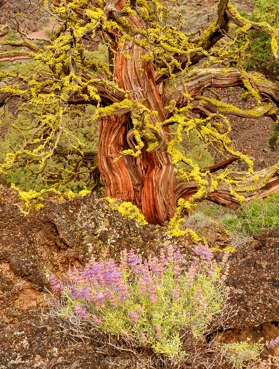 Purple Sage and Western Juniper, Lava Beds National Monument, California