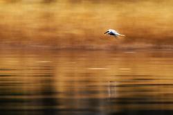 Common tern (Sterna hirundo) in Tyrifjorden, Ringerike, Norway