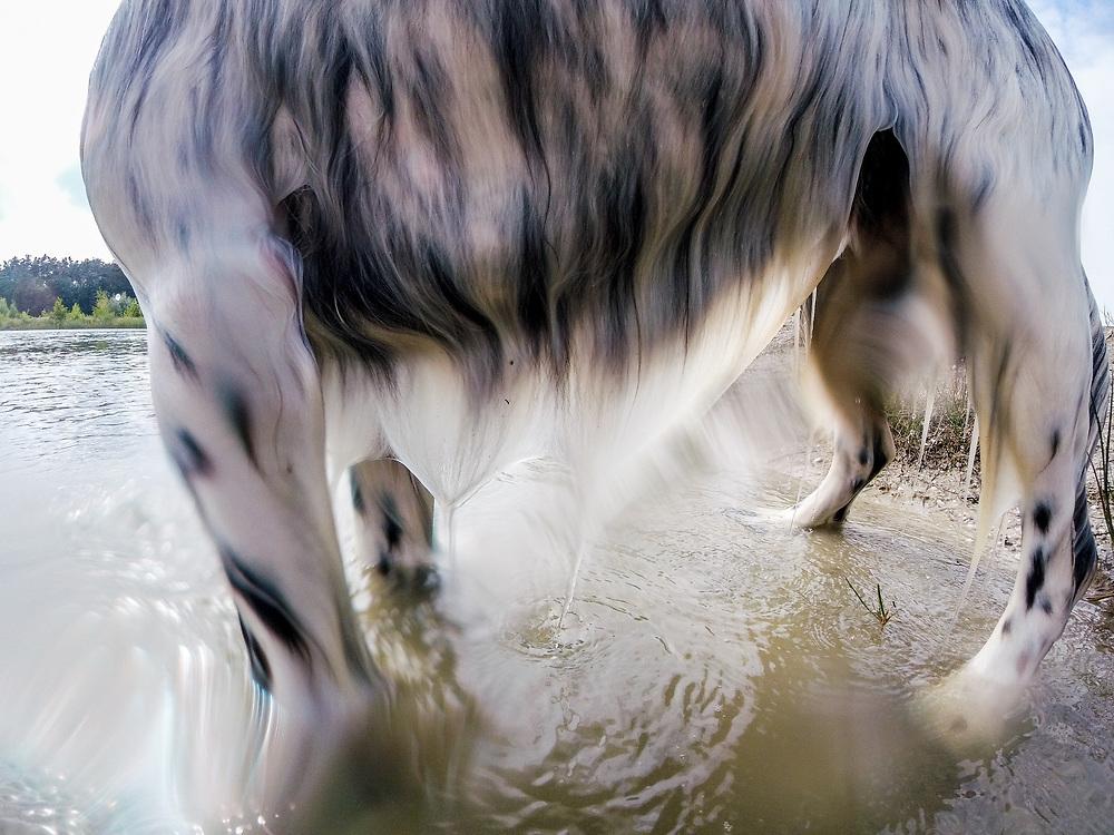 """English Setter """"Rudy"""" am 12.06. 2018 nach dem schwimmen im Teich von Stara Lysa, (Tschechische Republik).  Rudy wurde Anfang Januar 2017 geboren."""
