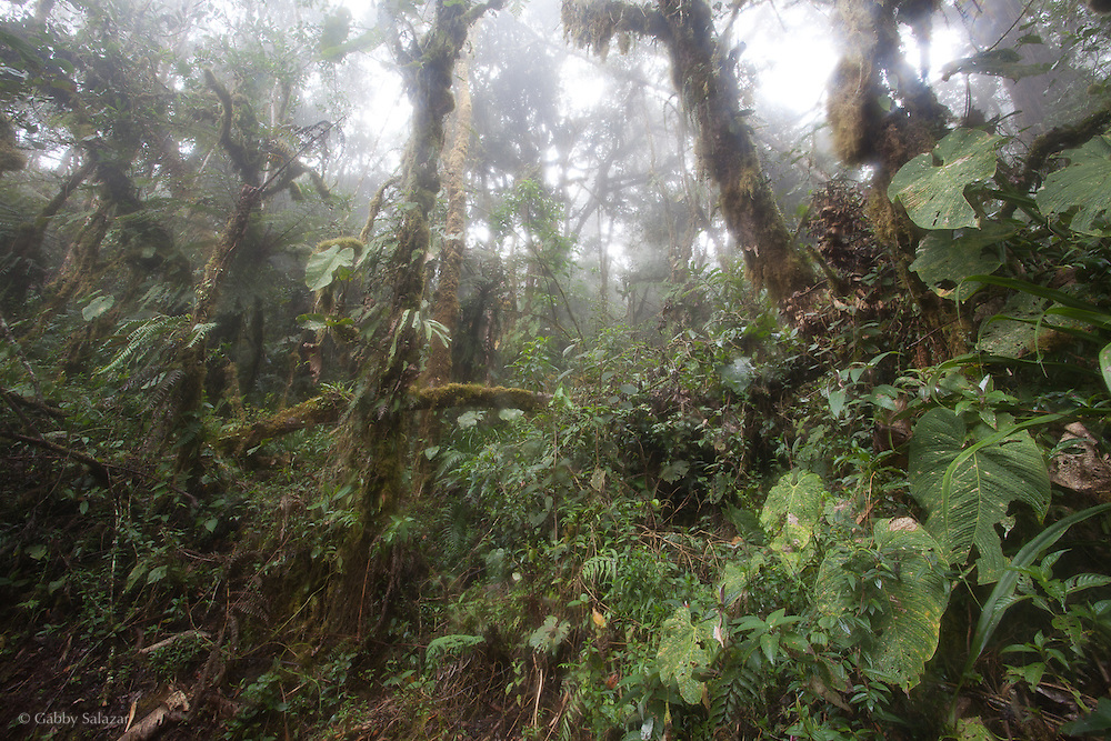 Cloud forest scene. Wayqecha Biological Reserve on the Eastern slopes of the Peruvian Andes. Cloud forest at 2950 meters elevation. The reserve is managed by the Amazon Conservation Association and the Asociación para la Conservación de la Cuenca Amazónica.