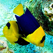 Bicolor Angelfish inhabit reefs and rubble areas;  picture taken Lembeh Straits, Sulawesi, Indonesia